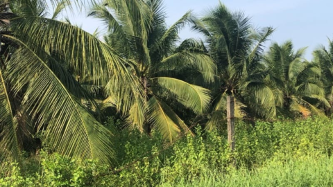 Exporting and domestic demands for Vietnamese coconut